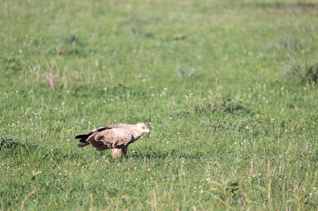 De adelaar in het midden van het grasland in een weide