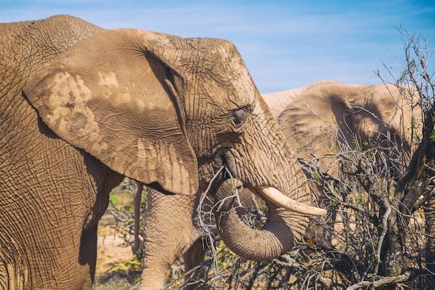 De afrikaanse olifant die in struiken eten bekijkt dicht omhoog in addo national park, zuid-afrika