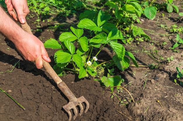 De agronoom harkt de grond rond bloeiende aardbei