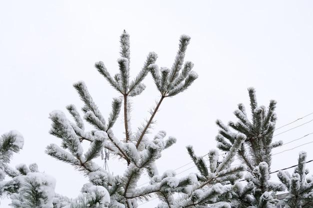 De altijdgroene boomtakken in de winter sluiten omhoog