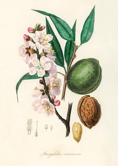 De amandel (amygdalus communis) illustratie van medical botany (1836)