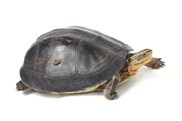 De amboina aziatische doosschildpad die op wit wordt geïsoleerd