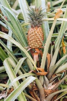 De ananas op de klomp heeft roze ogen. ananasbomen verbouwen tropisch fruit in de ananasplantagetuinen.