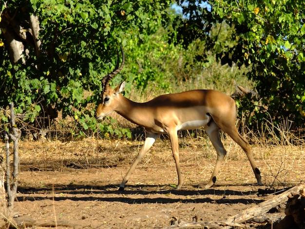 De antilope op de safari in chobe nationaal park, botswana, afrika