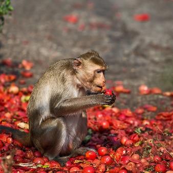 De apen eten de tomaten die de dorpelingen meebrengen.
