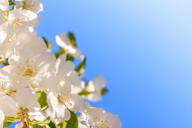 De appelboom van de bloesem over blauwe hemel