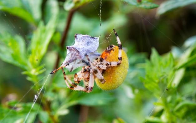 De araneus-spin wikkelt zijn prooi in een web, zodat hij deze vervolgens kan opeten.
