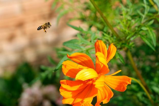 De arbeidersbij die van de close-up over gele bloem in mooie tuin voor bestuiving vliegt