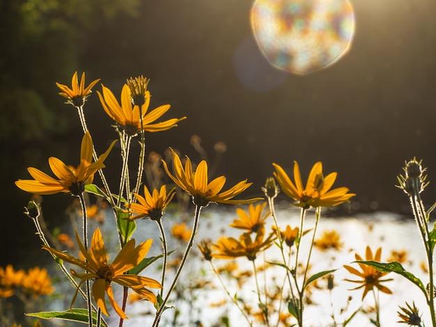 De artisjok van jeruzalem bloeit. zon bloem achtergrond.