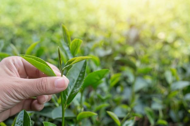 De aziatische handen van de theeplukker vrouw - sluit omhoog, mooi thee-plukt meisje in aanplanting.