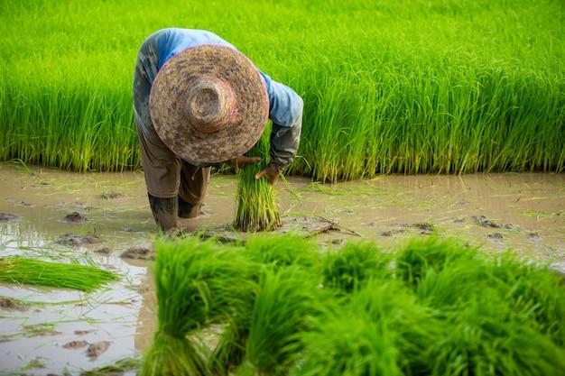 De aziatische landbouwer plant rijstzaailingen in padieveld, landbouwer die rijst in het regenseizoen planten.