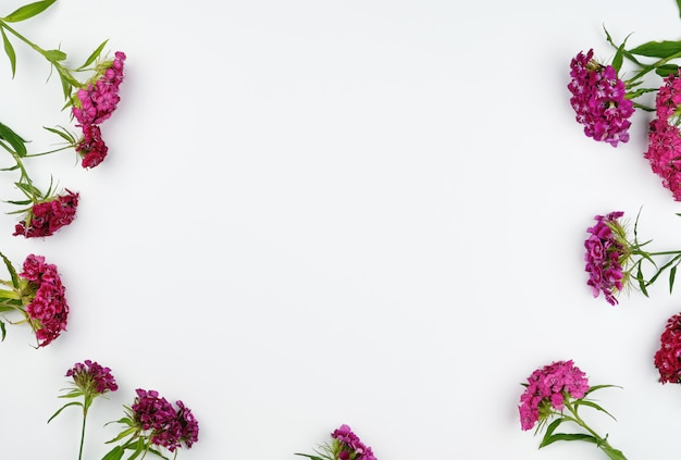 De barbatus van dianthus van knoppen bloeiende turkse anjers