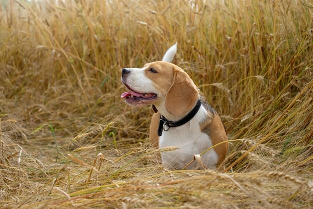 De beagle-hond die op een gouden tarwegebied loopt