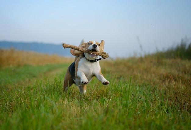 De beagle-hond loopt tijdens het lopen op gemaaid gras met een stok