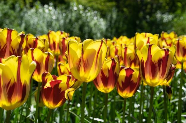 De beroemde nederlandse tulpen.