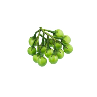 De bes van turkije (torvum van de solanum) die in wit wordt geïsoleerd