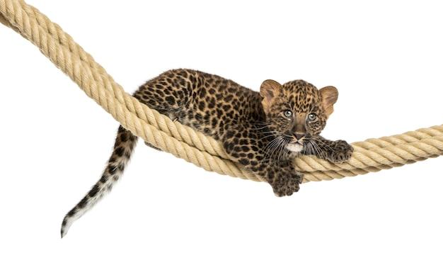 De bevlekte holding van de luipaardwelp op een geïsoleerde kabel