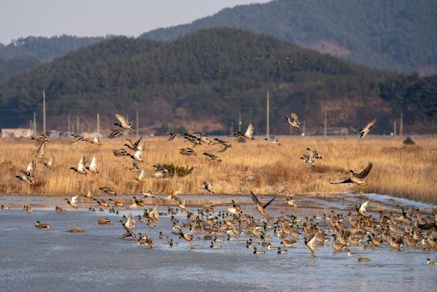 De beweging van gachang-eenden, een trekvogel van zuid-korea