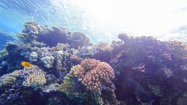De bewoners van de rode zee zijn een gevaarlijke kogelvis die zich momenteel wil verschuilen in de buurt van koralen