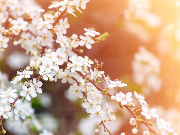 De bij bestuift bloemen in de lente bij zonnige dag.
