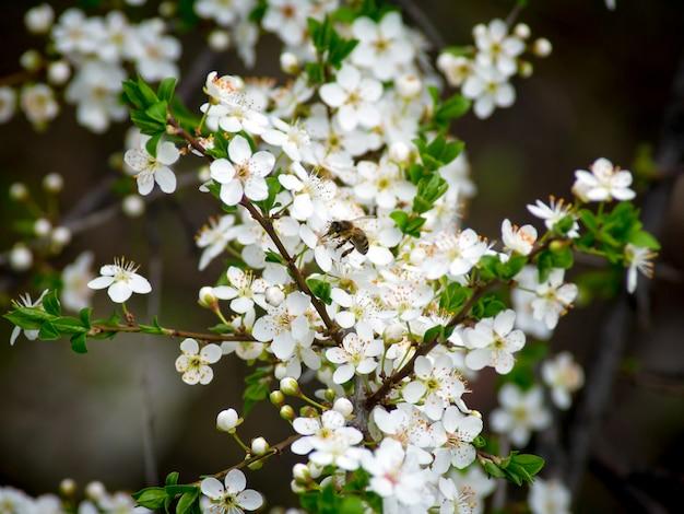 De bij bestuift bloemen in de lente. een bij die rond de amandelbloesem vliegt.