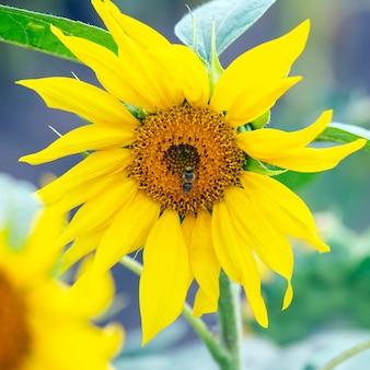 De bij die de bloem van een zonnebloemclose-up bestuift. plantkunde en vegetatie