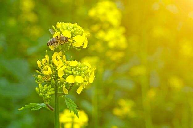 De bij verzamelt de nectar op de mosterdbloemen in het veld