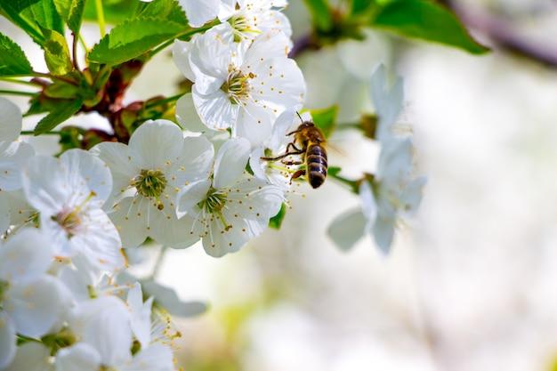 De bij verzamelt honing uit de bloemen van kersen. bloesem van kers