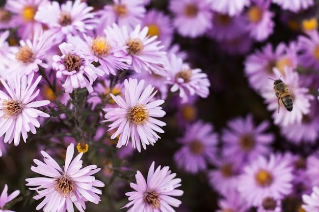De bij vliegt in september de herfst naar de kleine bloemen van asters en verzamelt nectar