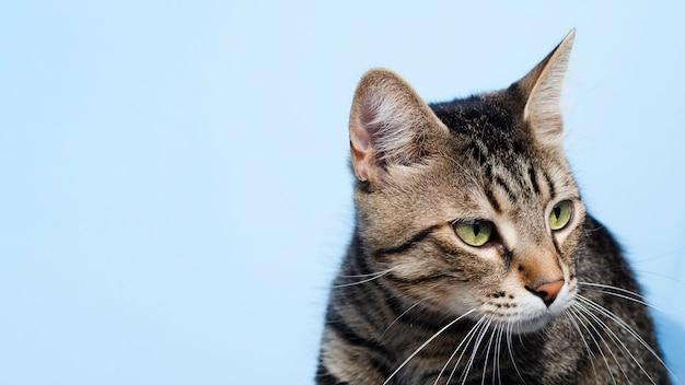 De binnenlandse kat die van de close-up weg kijkt