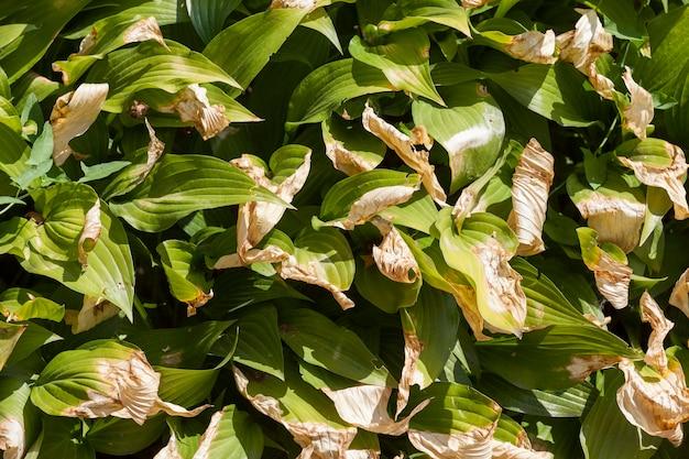 De bladeren droogden op van de hitte op de bloemen