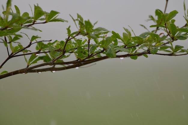 De bladeren nat regenwater aan het begin van het regenseizoen.