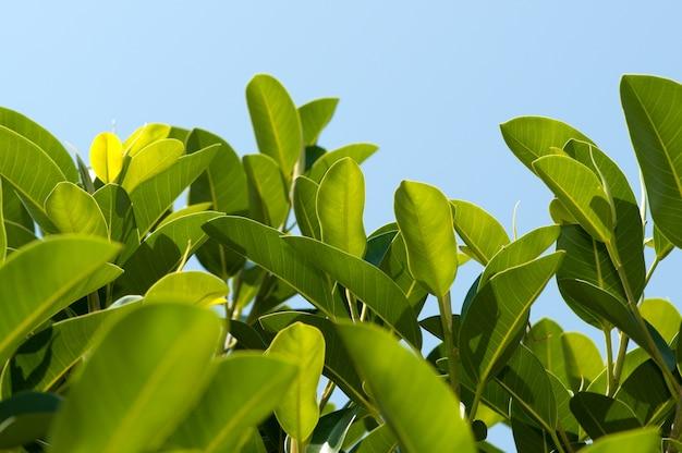 De bladeren van de close-upmagnolia op blauwe hemel met ruimte voor tekst