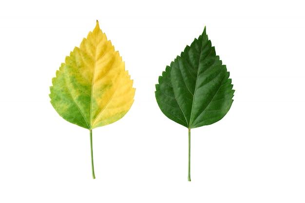 De bladeren van de hibiscus groen en geel op witte achtergrond