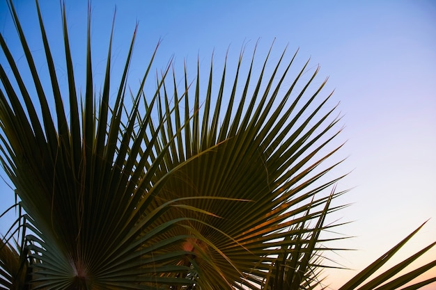 De bladeren van de palmbomen tegen de avondlucht