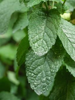De bladeren van de plant worden aangetast door de schimmelziekte echte meeldauw.