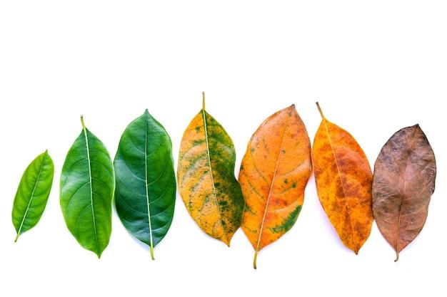 De bladeren van verschillende leeftijd van de vlakte van de hefboomfruitboom leggen en kopiëren ruimte.