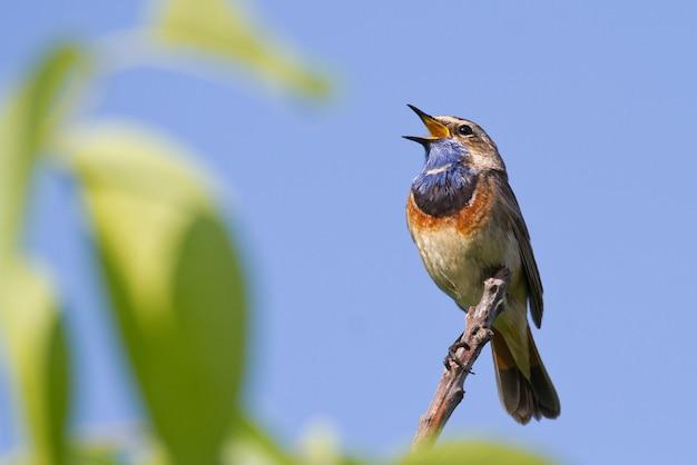 De blauwborst zingt zittend op een tak tegen de hemel