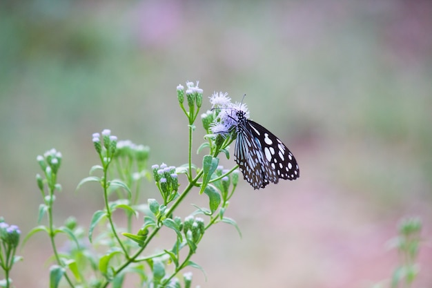 De blauwe gevlekte kroontjesvlinder