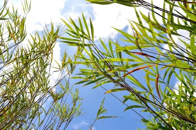 De blauwe hemel van het bladbamboe