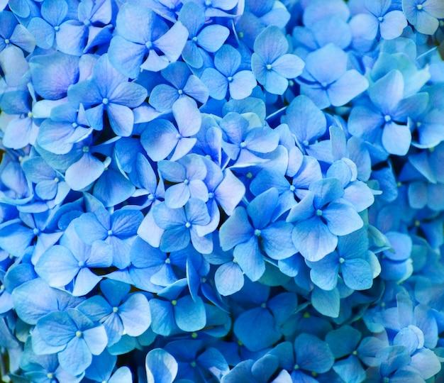 De blauwe hortensia bloeit dicht omhoog