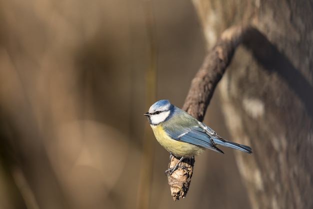 De blauwe mees, parus-caeruleus, zit op een tak in het de lentebos in noorwegen