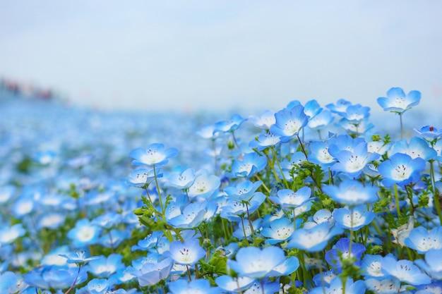 De blauwe nemophila bloeit land bij hitachi kustpark op lentetijd.