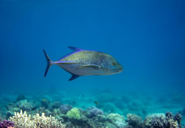 De blauwvintonijn trevally, caranx melampygus zwemmen in de zee.