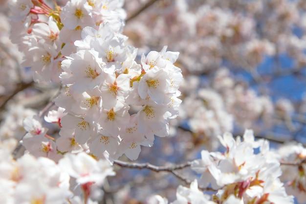 De bloei van de sakurabloem van de kersenbloesem