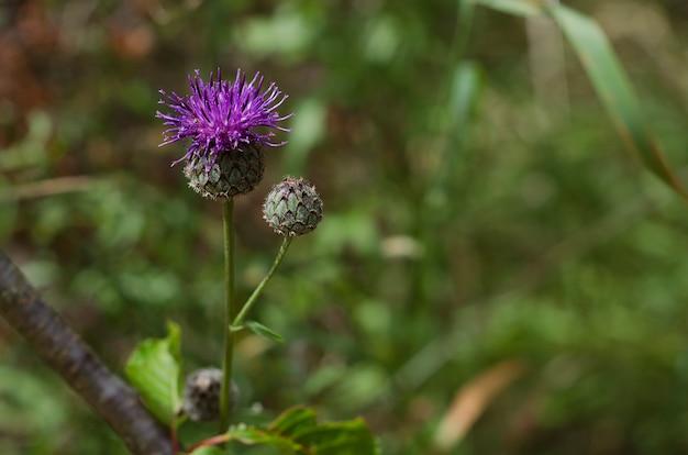 De bloeiende blauwe distel van de bloemenartisjok