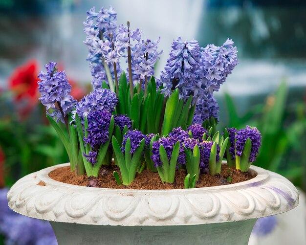 De bloeiende hyacint racemose van de muis in pot