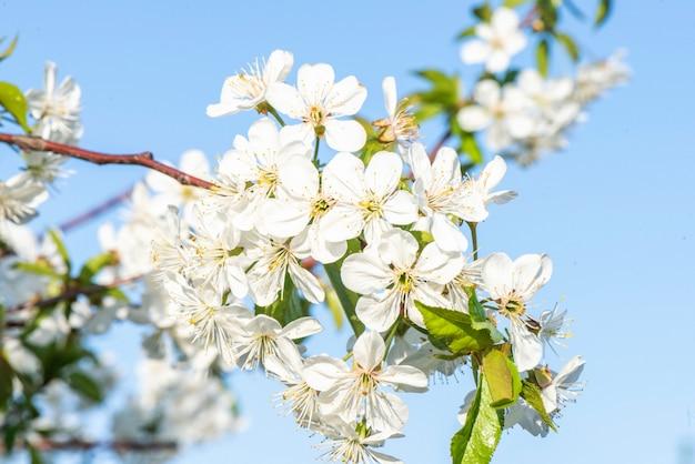De bloeiende kersenbloemen vertakken zich dicht omhoog