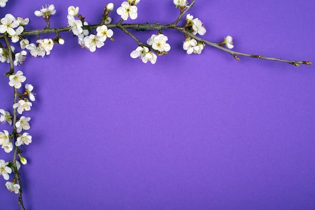 De bloeiende takjesabrikozen springen purpere schoonheids achtergrondlay-outvlakte lag op.