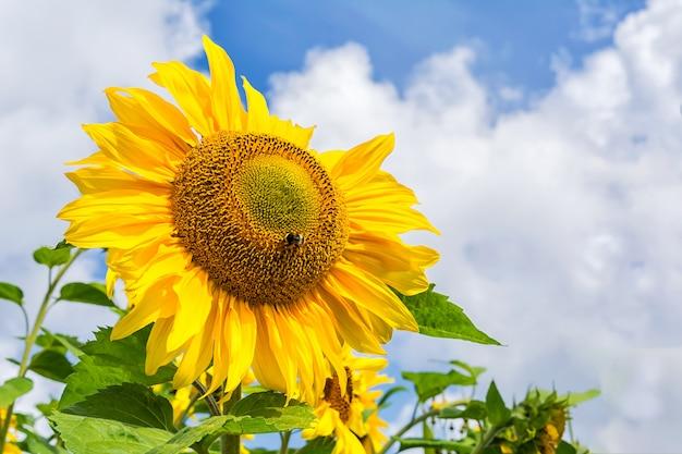 De bloeiende zonnebloem met bij, sluit omhoog